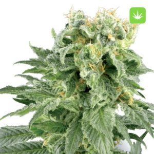 Double-Gum-Seeds-Marijuana-Products-300×300-1.jpg